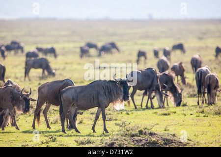 Blue Wildebeests during the Great Migration - Stock Photo