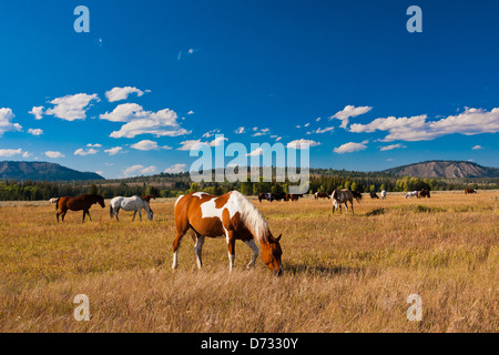 Horses enjoying the peace in Grand Teton National Park,USA - Stock Photo