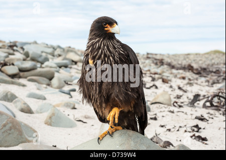 Falkland-Karakara, Striated Caracara, Phalcoboenus australis, Johnny Rook, Sea Lion Island, Falkland Islands, adult - Stock Photo