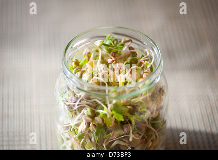 Mix of cereal sprouts growing in glass jar - Stock Photo