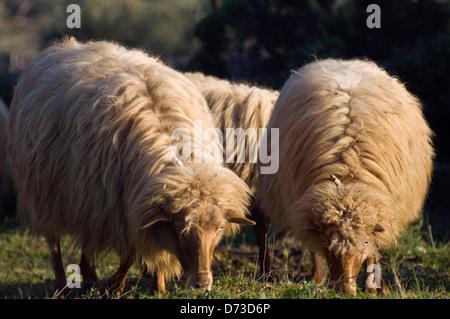 Grazing sheep (Greece) - Stock Photo