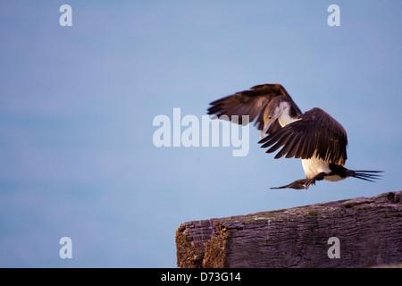 Cormorant - Phalacrocorax varius -, South Island, New Zealand - Stock Photo