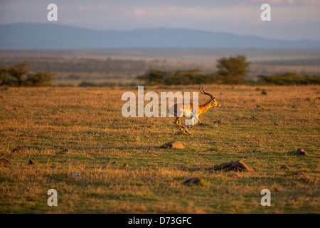 Male Impala running at sundown - Stock Photo