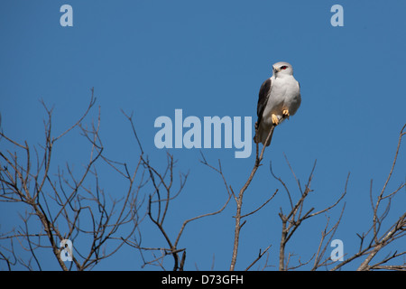 Black-Winged Kite also known as Black-Shouldered Kite - Stock Photo