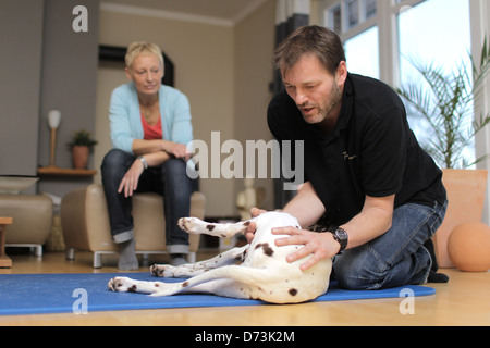 A dog osteopath is treating a brown dalmatian during a house call, Maasbuell, Germany - Stock Photo