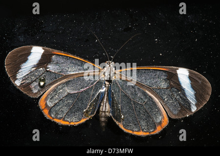 A Clearwing butterfly on the surface of water - Stock Photo
