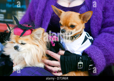 Two elegantly dressed chihuahua dogs in a ladies lap. - Stock Photo