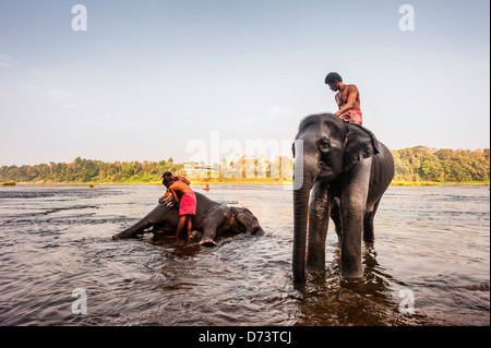 Mahouts bathe their young elephants in the river Periyar at dawn in Kerala, India. - Stock Photo