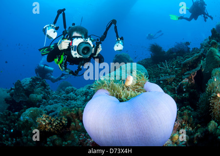 A scuba diver hovers over a purple anemone with clownfish to take a photograph - Stock Photo