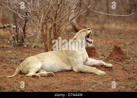 A lioness yawning in the Kruger National Park, South Africa. - Stock Photo