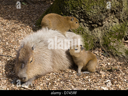 capybara Hydrochoerus hydrochaeris With her two young - Stock Photo