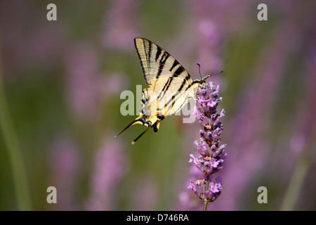 Butterfly Scarce Swallowtail close up on Lavender flower - Stock Photo