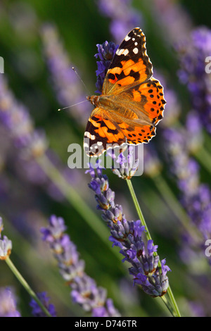 Painter Lady butterfly on the Lavender flowers - Stock Photo