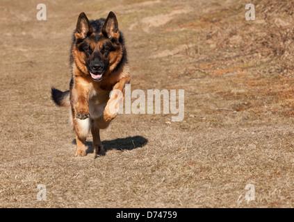 German Shepherd Dog running on heath land in Spring - Stock Photo