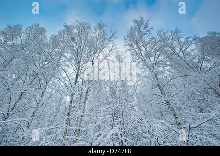 Trees covered in snow against a blue sky - Stock Photo