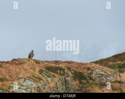 Sea eagle looking out over an island in an inlet in Sommarøy, Norway - Stock Photo