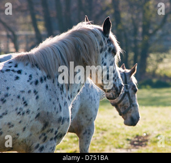 Appaloosa horse leopard-spotted coat - Stock Photo