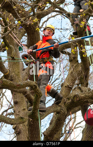 male tree surgeon working in woodland, norfolk, england - Stock Photo