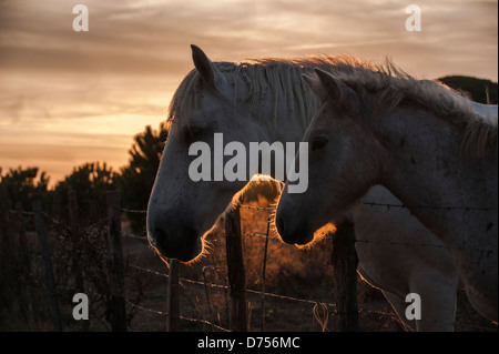 Mare and foal in the Camargue at sunset - Stock Photo