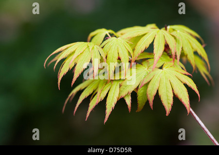 Acer palmatum 'Sango-kaku'. Coral bark maple - Stock Photo