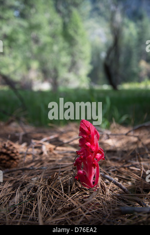 Snow plant (Sarcodes sanguinea) encountered under a redwood canopy in Yosemite Meadows. - Stock Photo