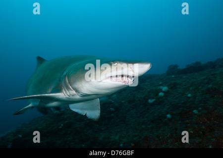 Sand Tiger Shark, Carcharias taurus, Aliwal Shoal, Indian Ocean, South Africa - Stock Photo