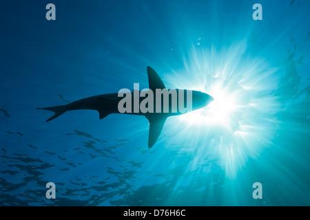 Blacktip Shark, Carcharhinus limbatus, Aliwal Shoal, Indian Ocean, South Africa - Stock Photo