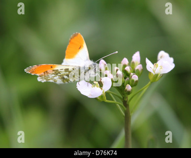 Male orange Tip (Anthocharis cardamines) butterfly feeding on a cuckoo flower - Stock Photo