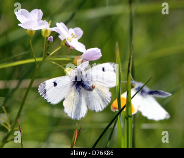 Male Orange Tip (Anthocharis cardamines) butterfly trying to mate with a female - Stock Photo