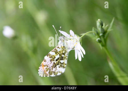 Detailed macro of a male orange Tip (Anthocharis cardamines) butterfly - Stock Photo