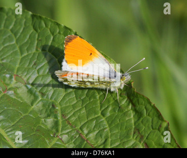 Male orange Tip (Anthocharis cardamines) butterfly, wings opened - Stock Photo