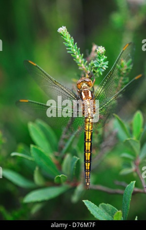 A keeled skimmer dragonfly at rest - Stock Photo
