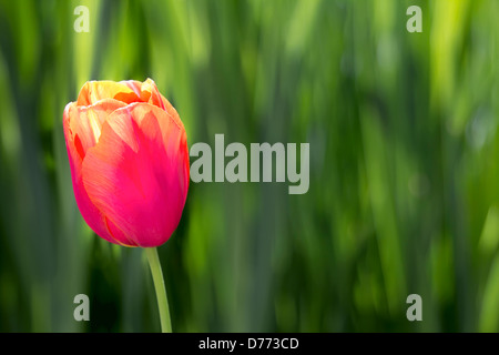 Single Pink and Yellow Colored Tulip Flower on Blurred Green Foliage Background - Stock Photo