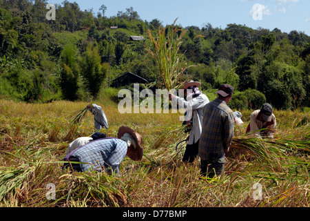 Harvesting rice in Thailand - Stock Photo
