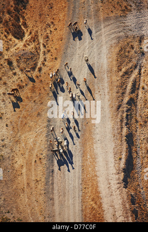 Aerial View Herd Sheep - Stock Photo
