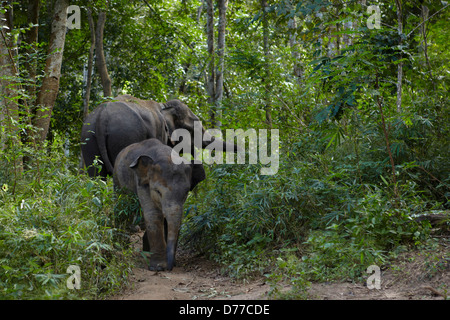Mother elephant her baby in the forest inChangwat Chiang Mai Thailand - Stock Photo