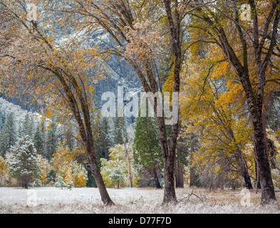 Yosemite National Park, CA: Three black oaks with lingering fall color and a dusting of snow, Yosemite Valley - Stock Photo