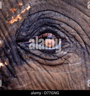 eye detail of an asian elephant - Stock Photo