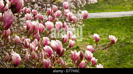 Pattern of blooming Magnolia Flowers on the Tree - Stock Photo