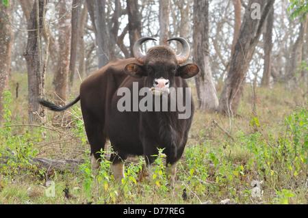 Indian Bison ( Bos gaurus ) - Stock Photo