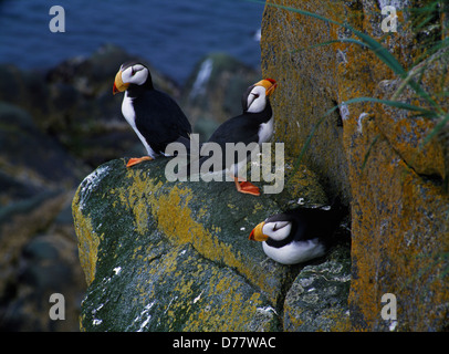 Horned puffins Fratercula corniculata Round Island Walrus Islands State Game Sanctuary Bering Sea Bristol Bay Alaska. - Stock Photo