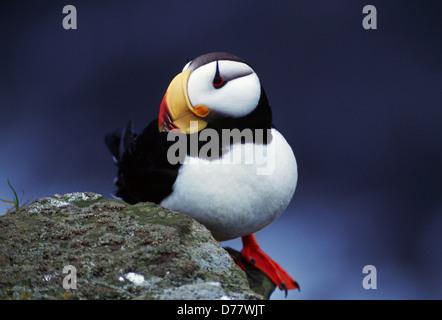 Horned Puffin Fratercula corniculata Saint George Island Alaska Maritime National Wildlife Refuge Pribilof Islands - Stock Photo