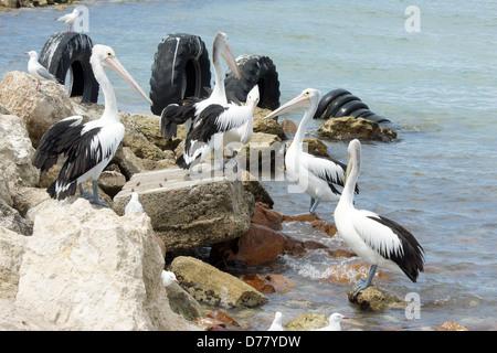 Australian Pelican, Emu Bay, Kangaroo Island, South Australia - Stock Photo
