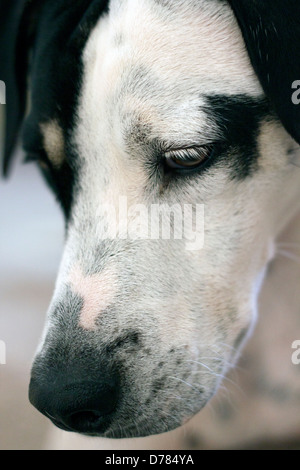 Dalmation Pointer  cross-breed dog looking downwards - Stock Photo