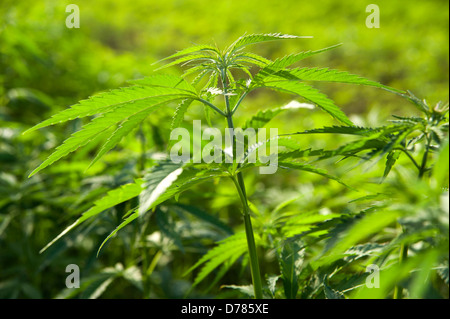Hemp plant, Cannabis sativa growing as crop. - Stock Photo