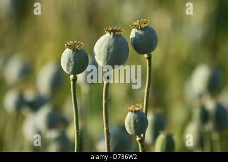 opium poppy heads in green agriculture field - Stock Photo