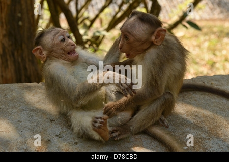 monkey business at the Periyar Tiger Reserve in Kerala, India - Stock Photo
