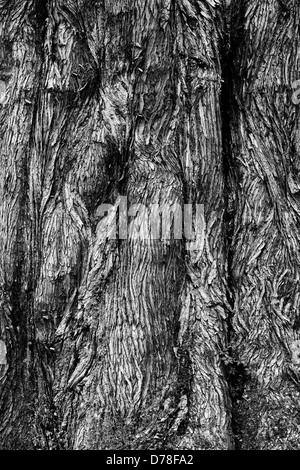 Metasequoia glyptostroboides. Dawn Redwood tree bark. Monochrome - Stock Photo