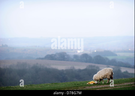 Newborn lamb minutes after birth with it's mother on the South Downs at Chanctonbury in Sussex UK - Stock Photo