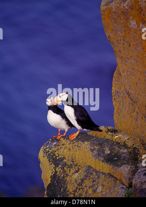 Pair horned puffins Fratercula corniculata perched on rock ledge Round Island Walrus Islands State Game Sanctuary - Stock Photo